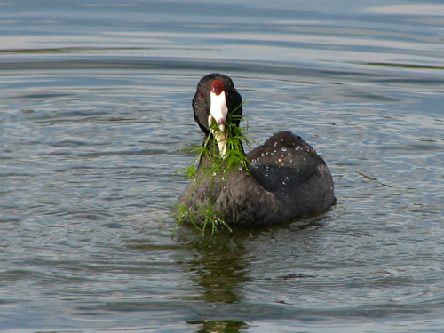American Coot with big noms