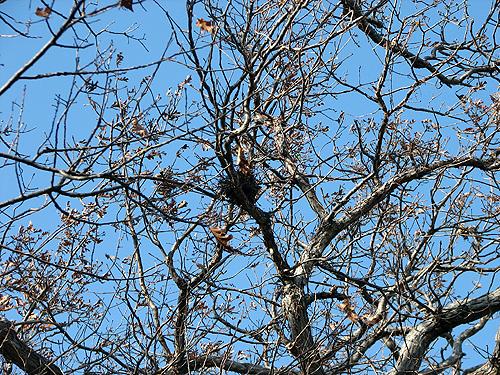 Sharpened nest in bare tree