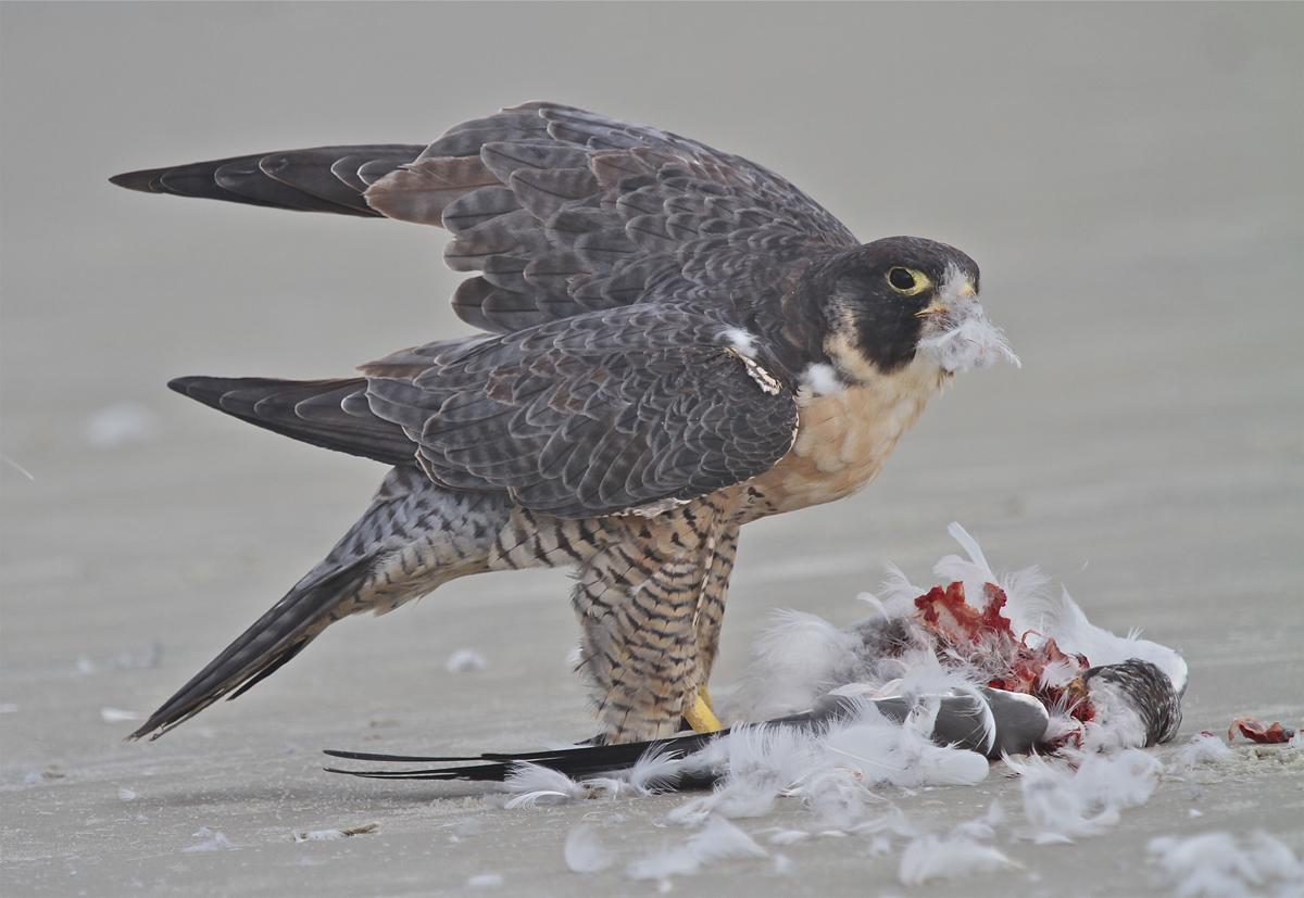 Peregrine Falcon Hunting Pigeon