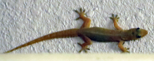 House Gecko sp